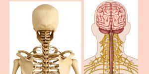 Inervación que nace del cuello.