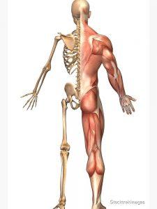 Esquema del cuerpo humano